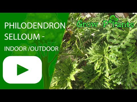 Philodendron selloum - can grow indoor or outdoor (Philodendron bipinnatifidum)
