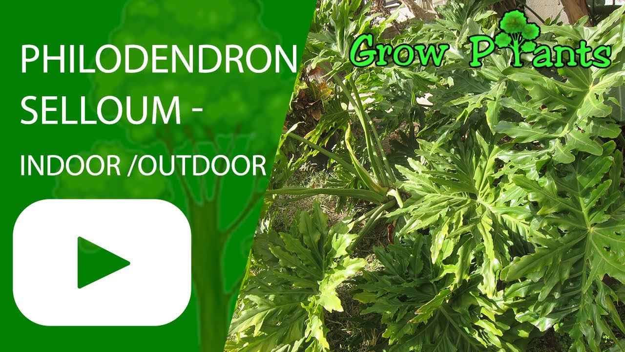 Philodendron Selloum Can Grow Indoor Or Outdoor Youtube