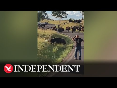 Download Bison pulls off woman's jeans in attack at US state park caught on video