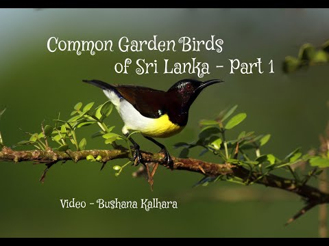 Common Garden Birds Of Sri Lanka - Part 1