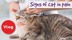 Wie kann man sagen, wenn Ihre Katze Schmerzen, Zeichen der Katze in den Schmerz