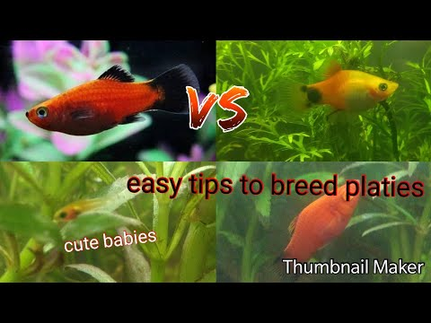 How To Breed Platy Fish ?? 2019 And How To Crossbreed Platy Fishes?