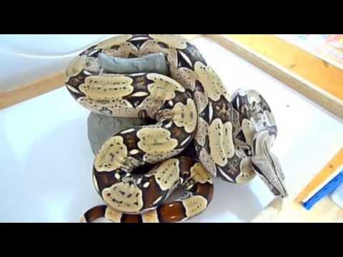 Boa constrictor Crossbreeds | Stöckl - Die Nr 1 Boa