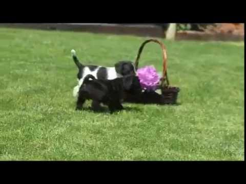 Miniature Schnoodle Puppies For Sale