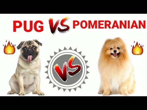 Pug vs Pomeranian || in Hindi || Dog Vs Dog