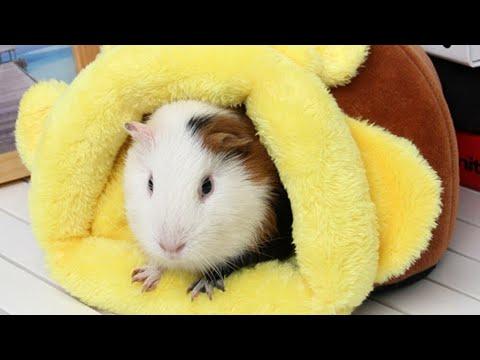Chia sẽ kinh nghiệm nuôi chuột lang sinh sản