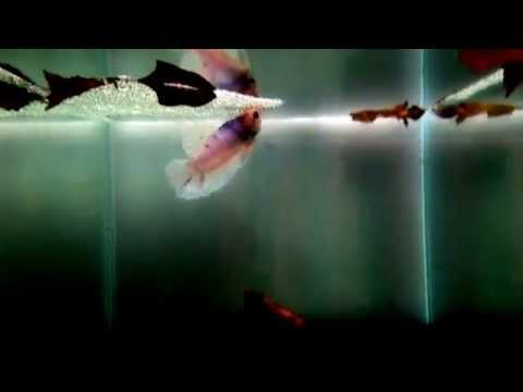 """Male and Female Betta fish """"courtship"""" phase in Breeding"""
