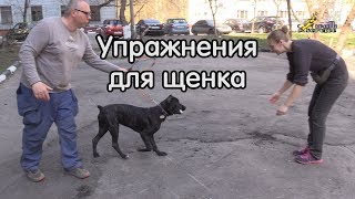 Дрессировка щенка кане корсо,  много упражнений