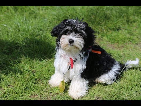 Havanna - Havanese Puppy - 2 Weeks Residential Dog Training