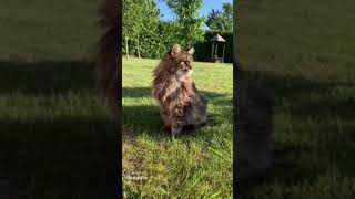 Regal Male Maine Coon Cat