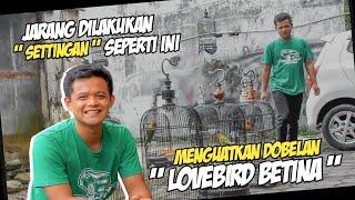 Download lagu DUA POINT PENTING MENGELUARKAN DOBELAN LOVEBIRD BETINA | NOVI BANJARNEGARA