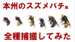 本州の大型スズメバチを全種捕獲してみた。all hornet species of genus Vespa in Japanes Honshu island
