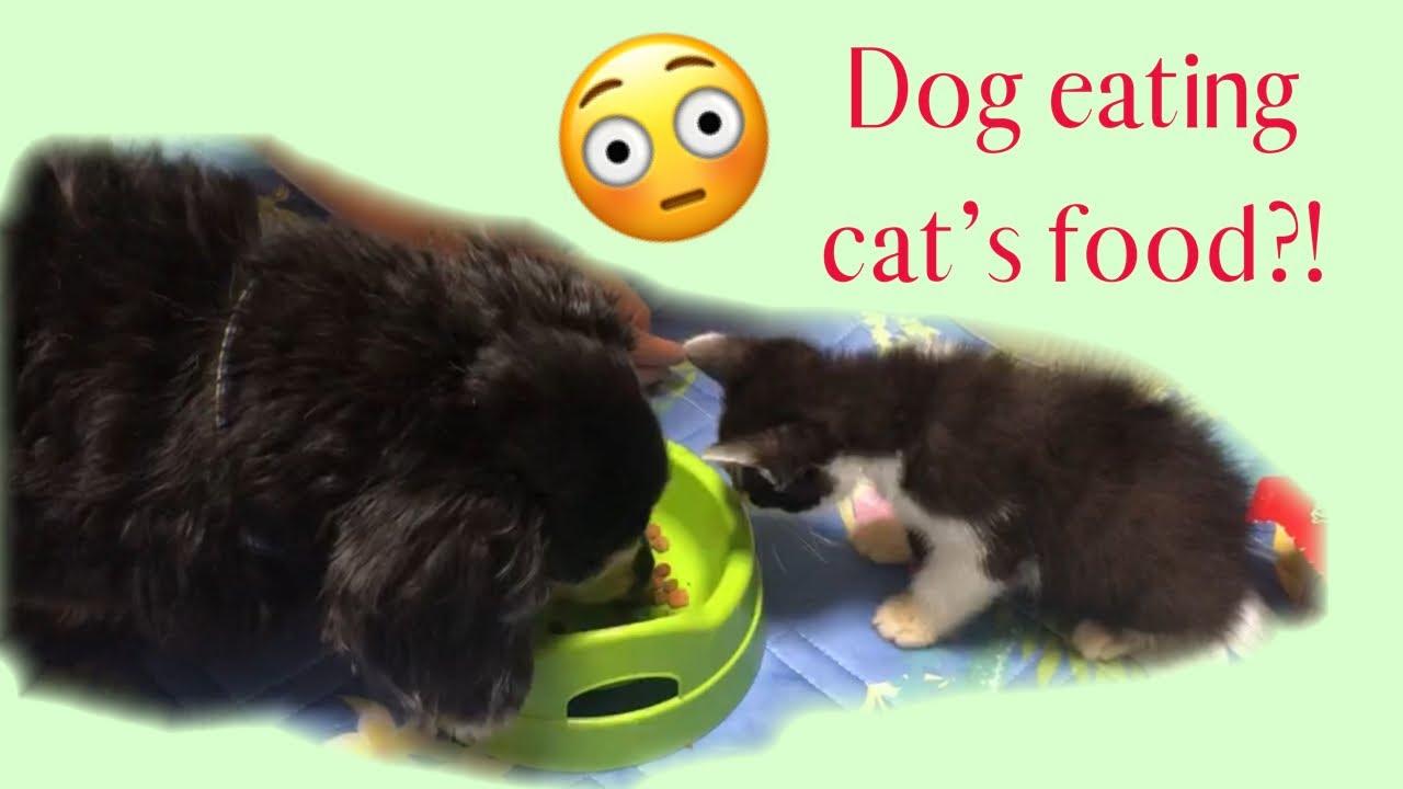 Dog eating cat's food - YouTube