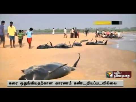 Over 50  dolphins wash ashore in Thiruchendur