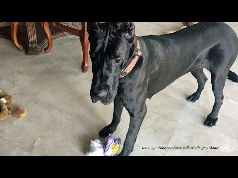 Funny Great Dane Loads Up Her Bed With Toys While Brother Dog Sleeps