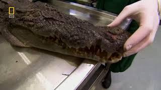 Анатомия крокодила