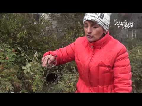 Вопрос: Как делать обрезку шиповника морщинистого?