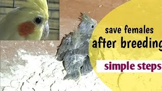 save cockatiel females from dying/ how to take care of cockatiel female after breeding