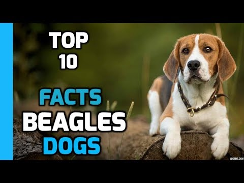 Top 10 Facts About Beagles(Beagles Dog Breed Information)