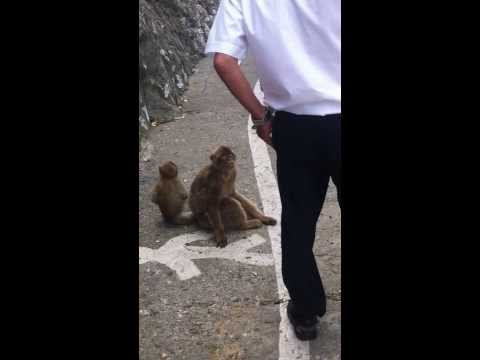 Barbary Ape Stealing from a Bag