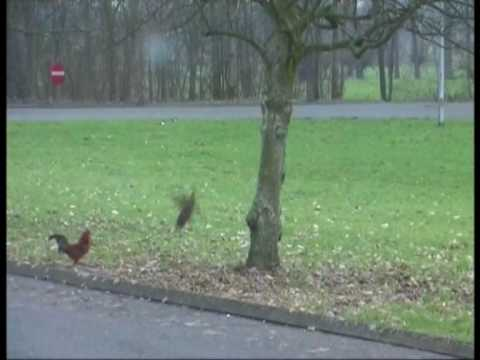 Кто сказал, что курицы не летают?!