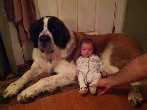 St Bernard Dogs Playing And Protecting Babies Videos Compilation - Dog Loves Baby Videos