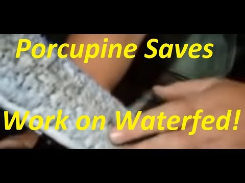 Porcupine saves pure water fed work