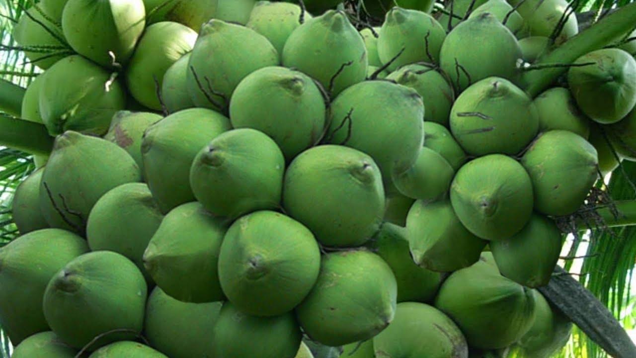 Kết quả hình ảnh cho dừa xiêm xanh