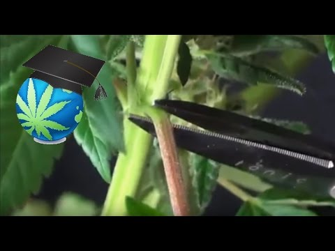 How To Trim Cannabis Plants During Harvest