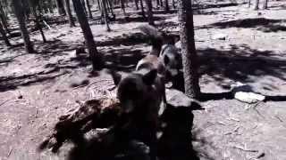 This is a video of Ayu (Kai Ken - 甲斐犬), Genko (Hokkaido Ken - 北...