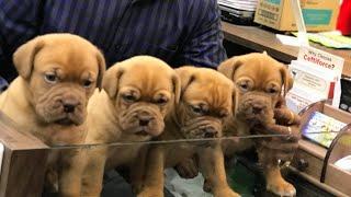 French Mastiff Heavy Quality Call 7275863266 / 9140752208