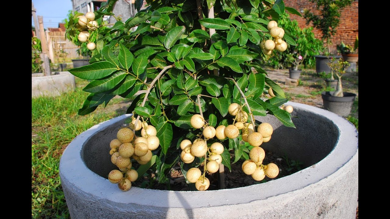 How To Grow A Longan Fruit Tree In A Pot Youtube