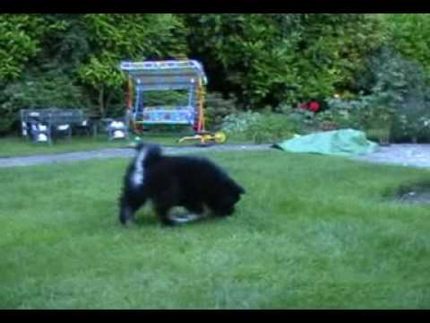 Cute Finnish Lapphund Puppy and Kitten Attacking Each Other