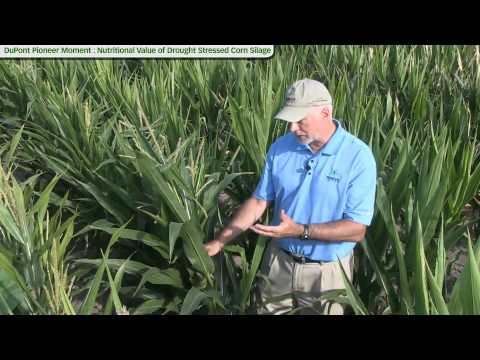 Nutritional Value of Drought Stressed Corn Silage