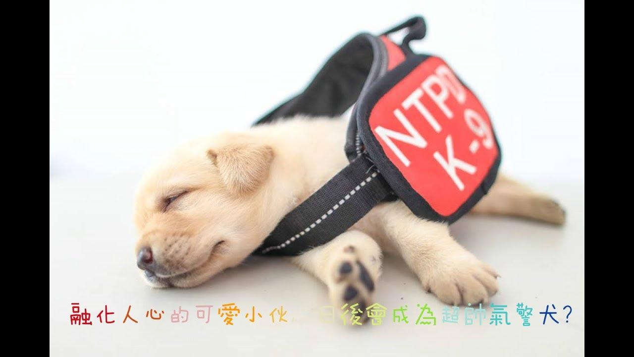 臺灣最新一批小警犬「萌到外國媒體也要報導」,一臉還睡不醒的上班模樣把大家都治癒了! - YouTube