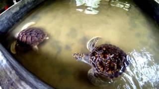 Sri Lanka 2017 - wylęgarnia żółwi