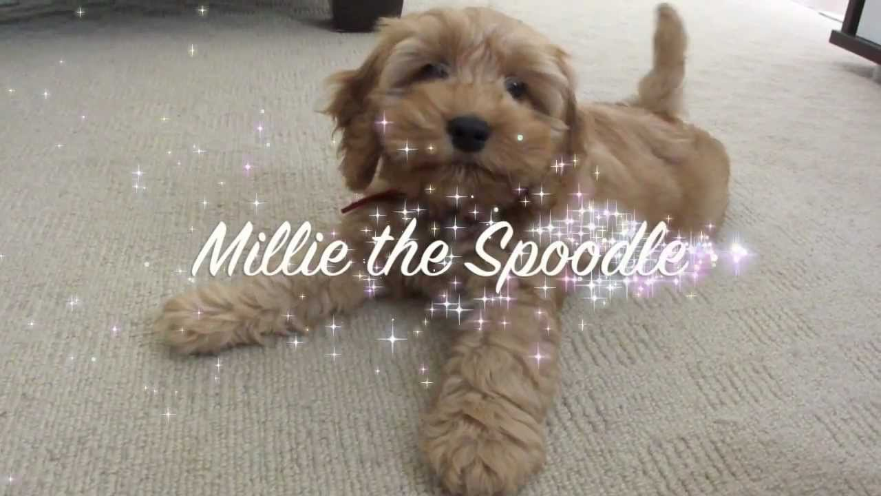 spoodle puppy - millie 2 5 months old