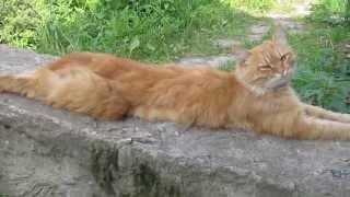 Рыжий кот Тимоша. Разговаривает!