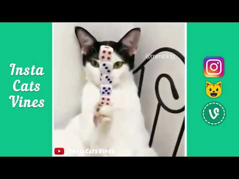#14 Funny Cat Vines Compilation January 2018 - Funny Cat Video Compilation