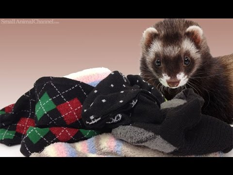 Funny And Cute Ferrets Stealing Stuff Compilation [HD] 5MC