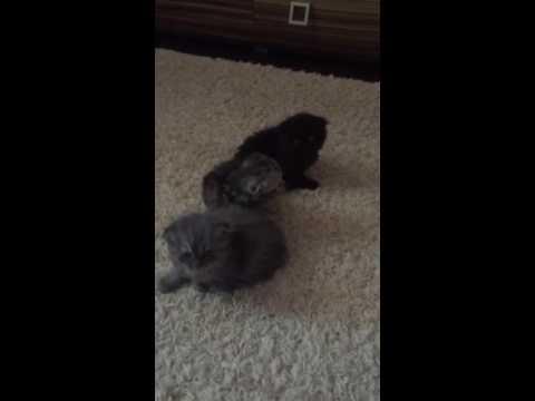 Питомники шотланских вислоухих кошек в Москве