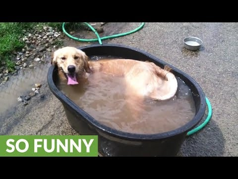 Golden Retriever has time of his life in tiny bath tub