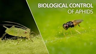 Biological control of aphids - Aphelinus abdominalis