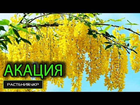 Карагана древовидная / Акация жёлтая / Ботанический сад, Харьков