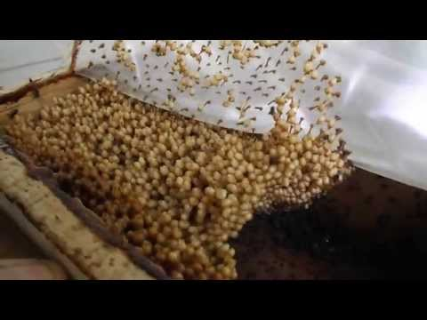 Melipona! The Smallest Bee in the world! Amazing Thailand Beehive tour Chanthaburi