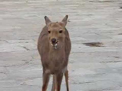 What sound does a deer make?