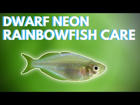 How To Care For Dwarf Neon Rainbowfish (Praecox)