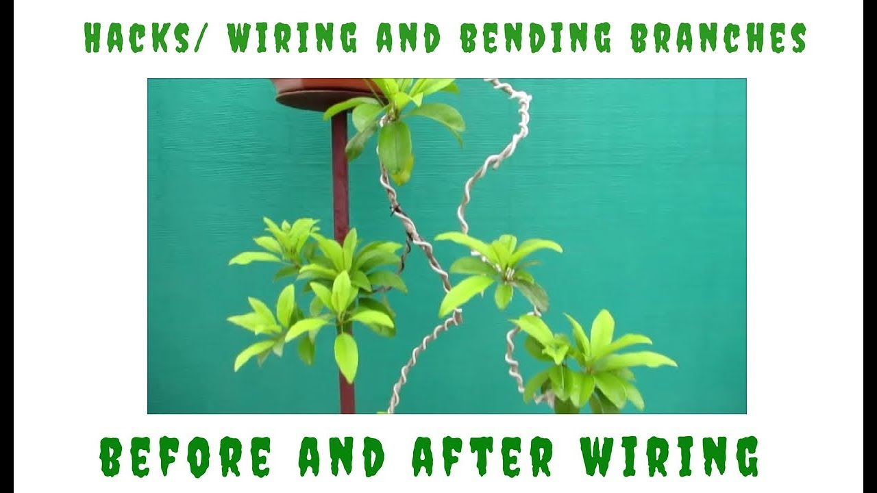 Bonsai Lesson What To Do Before And After Wiring Bending Branches