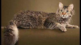 Кучерявые кошки Ла-перм