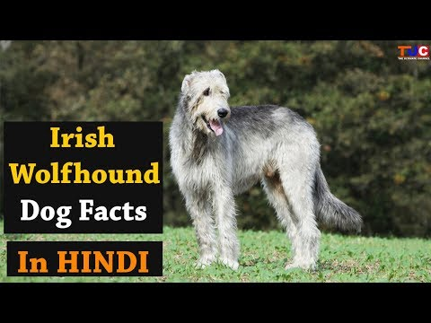 Irish Wolfhound Dog Facts In HINDI : Popular Dog Breeds : TUC